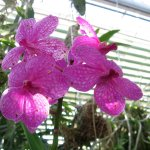 Orchids blooming in the greenhouse.