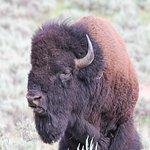 Buffalo in all his glory