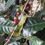 Photo of Boquete Coffee Tour