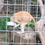 Monkey are kept interested by introduction of different items in their enclosures, today was a p