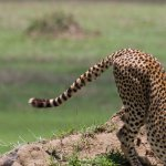 A cheetah stretching before the hunt! We saw a pack of 5 cheetahs successfully hunt a gazelle.