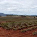 Harvested lavender plants