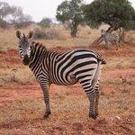 Zebra nella Savana
