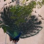 Peacock dancing in garden area