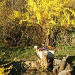 le jardin est trés fleuri avec les forsythias