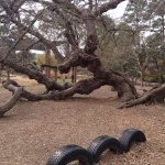 Ancient mulberry by children's play area