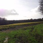 Field of daffodils beside the hostel