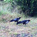 Kalij Pheasant males