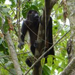 Howler monkeys in the area