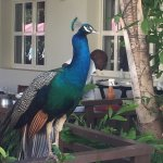 One of the resident birds, great personality as peacocks go ...