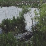 3 legs - also one of the 3 biggest gators known in these wetlands