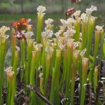 Stand of the carnivorous plant Sarracenia leucophylla (white top pitcher plant).