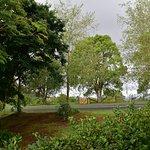 Birch trees & camphorlaurels out front