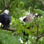 Rare sight from our table - White-headed Pigeons which are fruit eating natives of eastern Austr