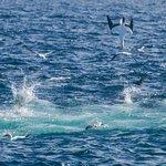 Gannets fishing