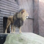 Majestic African Lion