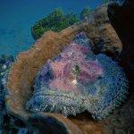 Stonefish/Scorpionfish (Scorpaenidae)