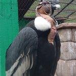 Condor.