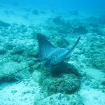 spotted eagle ray in front of hotel