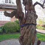 A very old tree in the grounds. Bound with an iron band.