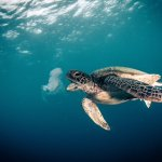 Diving - Turtle eating Jelly Fish