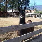 several llamas were so fun to see too