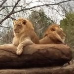 Lions finally came out later in the day