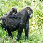 GORILLAS IN BWINDI IMPENERTRABLE FOREST