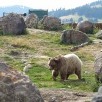 Montana Grizzly Encounter Foto