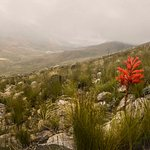 A lone red Iris on the western slopes, over looking Kleinplaas dam and Stellenbosch in the dista