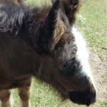 Gypsy Vanner Foal!