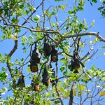 Flying foxes - bats hanging from a tree on the Daintree River Cruise