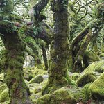 Epiphytic ferns on heavy limbs of old oaks