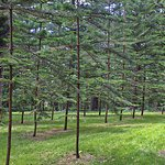 Growing of new pines