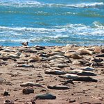 The beach, littered with seals