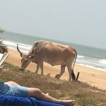 even the local cows enjoyed the beach!!