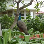 one of the many peacocks, rooms in the background