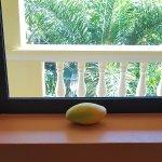 Letting a mango ripen