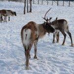 Reindeer in the padock