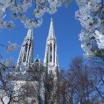 votivkirche und Kirschblüte