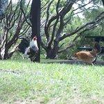 Free-Range Chickens!