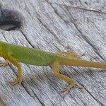 a lizard (St.Vincent Bush Anole)