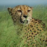 Cheetah on Vlei game drive