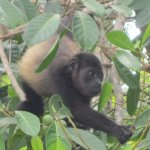 Baby howler monkey at the resort beach