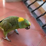 Paco the parrot comes to visit on the balcony