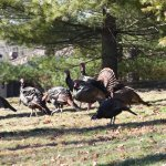 Amazing WILD TURKEYS all over the property !