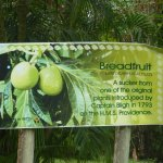 Breadfruit and Captain Bligh