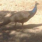 Peacocks roam around freely