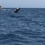 Humpback whales breaching,, spectacular!