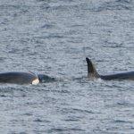Twee mooie orka's